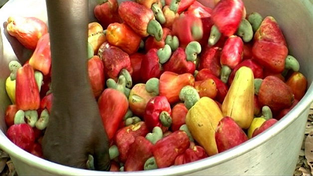 Preparing cashew apple juice   Access Agriculture