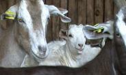 Dairy goat feeding