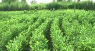 Soya sowing density