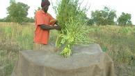 Harvesting and storing sesame