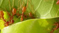 Weaver ants against fruit flies