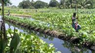 Floating vegetable gardens