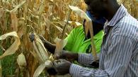 Bien récolter le maïs