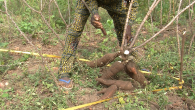 How to calculate yield of cassava