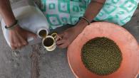 Une meilleure semence pour le haricot mungo