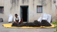 Récolte et stockage de graines de haricot mungo