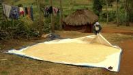 Gestion des aflatoxines dans le maïs pendant le séchage et le stockage