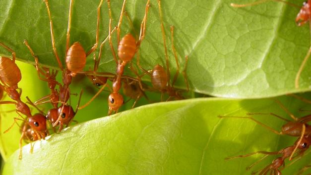 Weaver ants against fruit flies