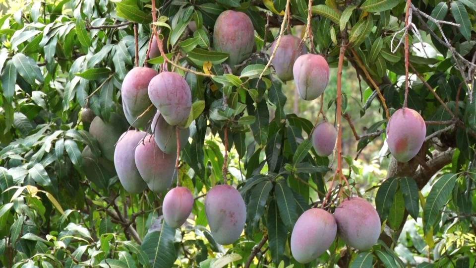 Proper handling of mangoes at harvest