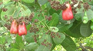 Growing annual crops in cashew orchards