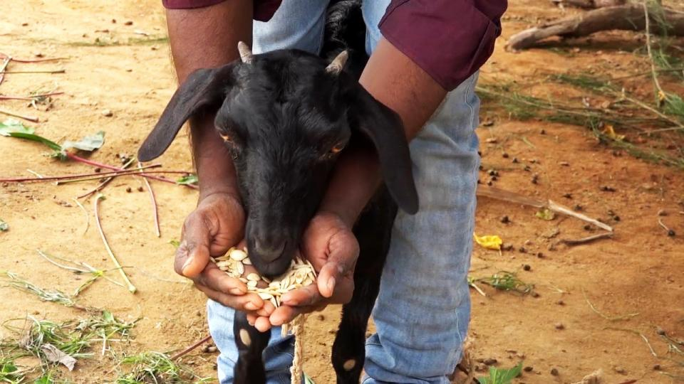 Deworming goats and sheep with herbal medicines